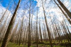 Sztuczny topolowy las i niebo Zdjęcia Royalty Free
