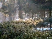 sztuka światło na gałąź świerczyna Styczeń 33c krajobrazu Rosji zima ural temperatury Zdjęcie Stock
