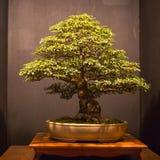 Sztuka Bonsai obrazy royalty free