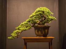Sztuka Bonsai zdjęcie royalty free
