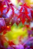 Sztuka deszcz. Mokrzy czerwoni jesień liście Zdjęcia Stock