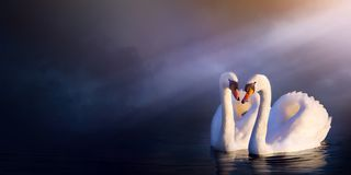 Sztuka romansu piękny krajobraz; miłości pary bielu łabędź zdjęcia royalty free