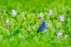 Sztuka widok natura Purpurowy Swamphen, Porphyrio porphyrio w natury zieleni marszu siedlisku w Sri Lanka, Rzadki błękitny ptak z Zdjęcia Stock