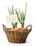sztuki koszykowa narastająca cebul wiosna Obrazy Royalty Free