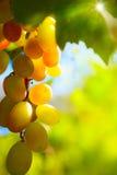 Sztuki słońca położenie na pięknych Czerwonych winogronach Obrazy Royalty Free