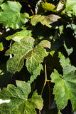 sztuki tła ramy gronowa liść papieru tekstury akwarela Obraz Royalty Free