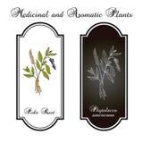 Szturcha korzeniowego Phytolacca americana lub pokeweed, lecznicza roślina Zdjęcia Stock