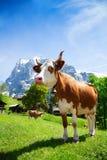 Szwajcaria krowa Obrazy Royalty Free