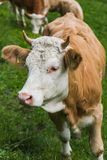 Szwajcarska krowa w trawy polu w frutigen Zdjęcie Stock