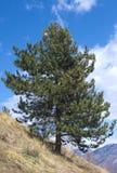 Szwajcarska sosna (Pinus cembra) Obraz Stock