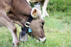 szwajcarzy krowa Obrazy Royalty Free