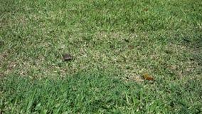 Szybka jaszczurka na Bequia zbiory wideo