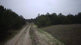 Szybki jeżdżenie samochodem wzdłuż piaska wzdłuż wiejskiej drogi w rzadkim sosnowym lesie zbiory wideo