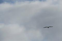 szybować ptaka Zdjęcie Royalty Free