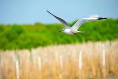 szybowniczy seagull Obraz Stock