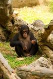 szympansów potomstwa Obrazy Royalty Free
