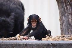 szympansów potomstwa Zdjęcia Royalty Free