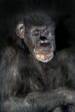 szympans Zdjęcie Stock