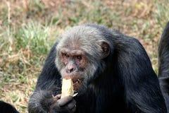 Szympans Fotografia Royalty Free