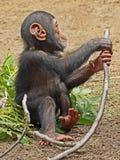 szympans Zdjęcie Royalty Free