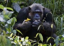 szympans obrazy stock