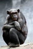 szympans Fotografia Stock