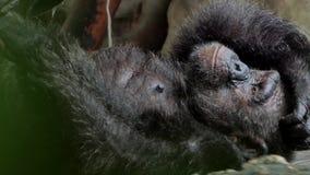 Szympans bierze odpoczynek na ziemi zbiory wideo