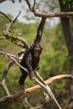 szympans dziki Obrazy Royalty Free