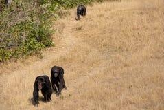 Szympans grupa Zdjęcia Royalty Free