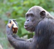 Szympans je chleb 5 Obraz Stock