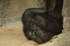 Szympans jest niemądry Fotografia Royalty Free