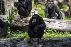 Szympans małpy spojrzenia przy coś obraz stock