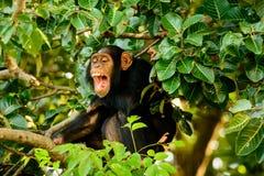Szympans ma dobrego śmiech Zdjęcie Royalty Free