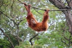 Szympans na drzewie Zdjęcia Stock