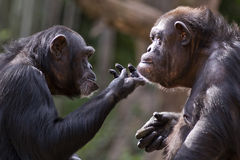 Szympans para Obraz Royalty Free