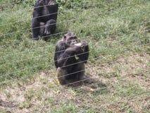 Szympans przy Ngamba wyspą, szympansa sanktuarium, Uganda, Afryka Obraz Stock