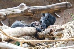 Szympans przy zoo obrazy royalty free