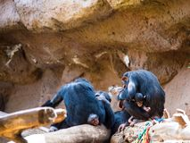 szympans rodzina cuddles w górę ich dziecka z obraz royalty free