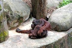 szympans stary Zdjęcia Royalty Free