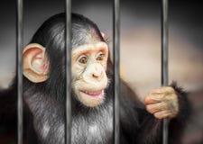 Szympans w metalu barze fotografia stock