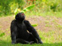 Szympans z usta otwartym obraz stock