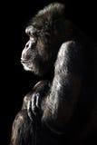 Szympansa cień & światło Fotografia Stock