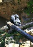 Szympansa dosypianie w drzewie Zdjęcie Stock