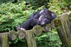 Szympansa drzemanie na belach obraz stock