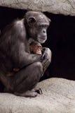 Szympansa dziecko i matka Zdjęcia Royalty Free