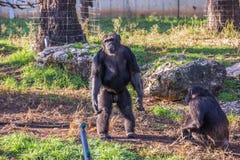 Szympansa lider Obrazy Stock