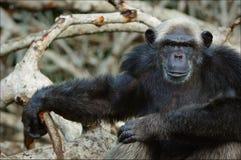 szympansa mangrowe Zdjęcie Stock