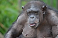 szympansa mlinzi Obrazy Royalty Free