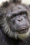 szympansa portret Obraz Royalty Free