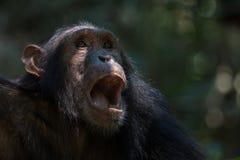 Szympansa portret Zdjęcia Stock